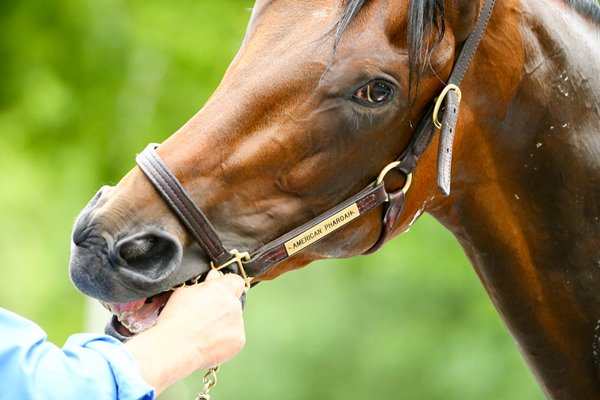 American Pharoah training Belmont Park 2015