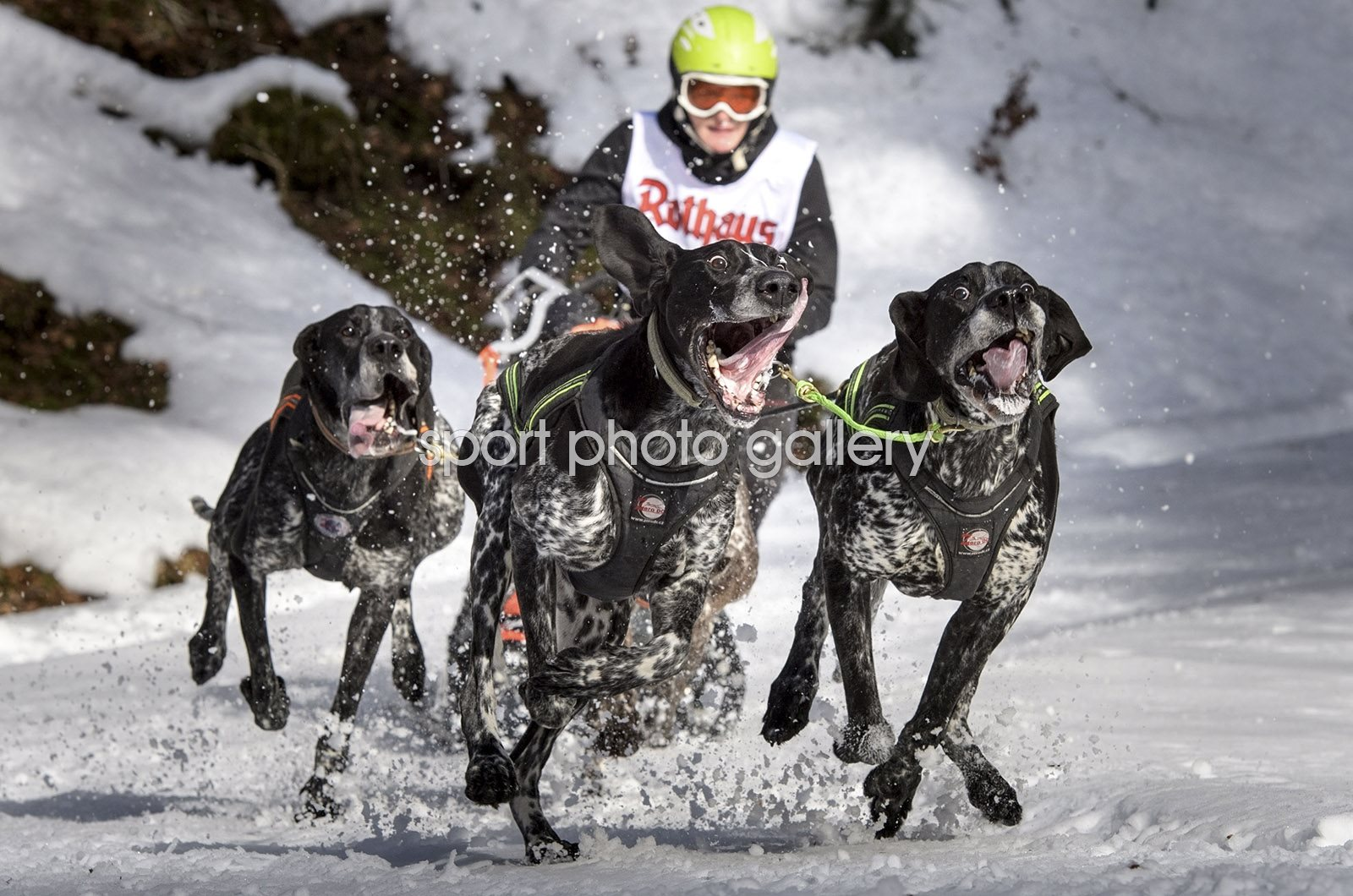 International Dog Sled Race Todtmoos Germany 2017