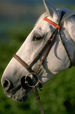 Desert Orchid portrait Elsworth Stables Whitsbury 1988