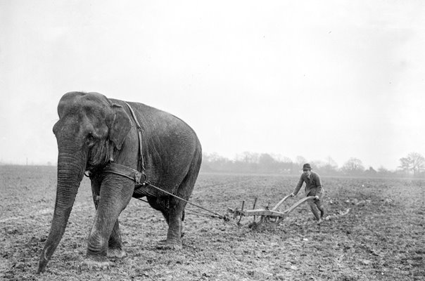 Elephant Plough