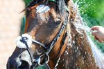 Frankel showers at Goodwood Races 2012 Prints