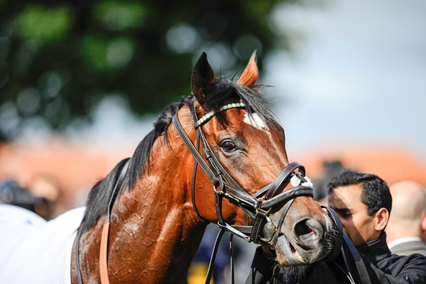 Frankel at Newmarket Races 2012