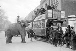 Circus elephant in London 1928 Prints